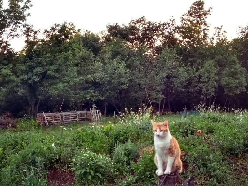 Domaći Mačak